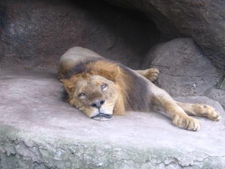 singa bobok