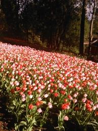 tulip araluen