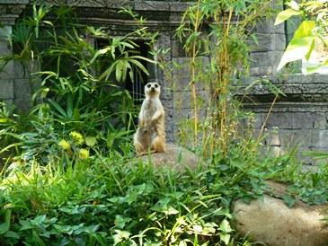 merkaat @bali zoo