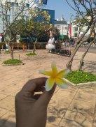 bunga frangipani